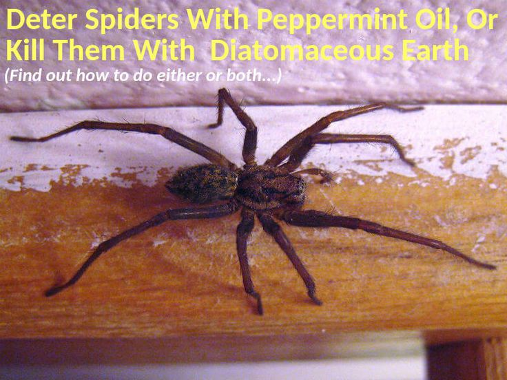 How to use diatomaceous earth and peppermint oil for spiders. To keep spiders out of the house, use peppermint oil. For elimination, use diatomaceous earth.