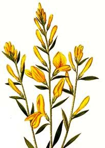 Genista tinctoria  Dyer's Broom