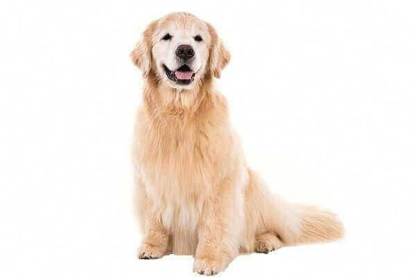 Golden Retriever Puppy For Sale Baby Price Facts Colors Vs