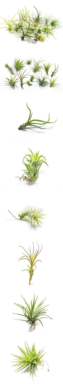 12 Air Plant Terrarium Kit   Tillandsia Variety Pack With Fertilizer Bottle    Assorted Species Of · Indoor House PlantsAir ...