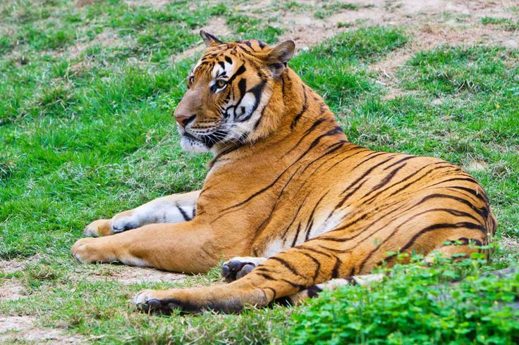 Found in central and eastern China, the critically endangered South China tiger (Panthera tigris amoyensis) is nearing extinction. There are currently 47 South China tigers living in 18 zoos in China, according to the World Wildlife Fund. Exact numbers of wild South China tigers, if there are any left, are unknown. This photo of a South China tiger was taken on April 5, 2011.