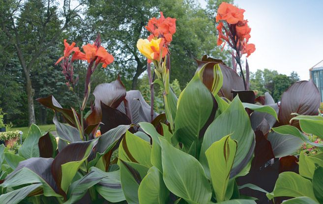 70 best flowers canna lillies images on pinterest canna lily canna bulbs and flower beds. Black Bedroom Furniture Sets. Home Design Ideas