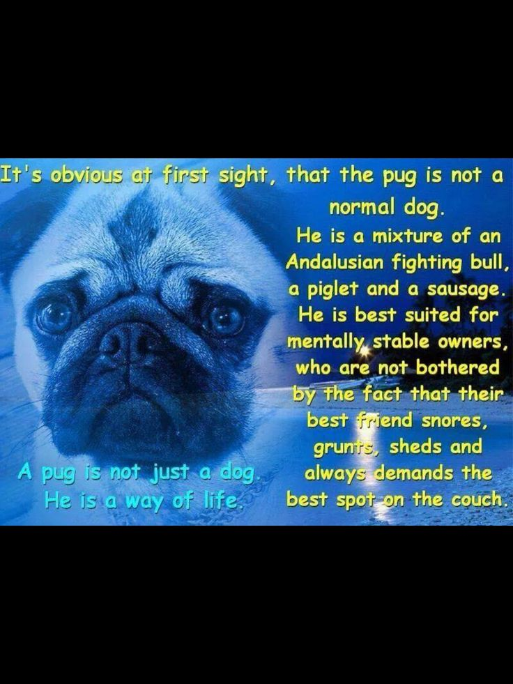 A #pug is a way of life.