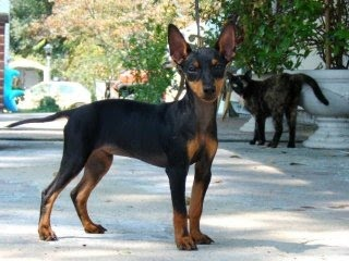 Manchester Terrier / English Toy Terrier / joonifer