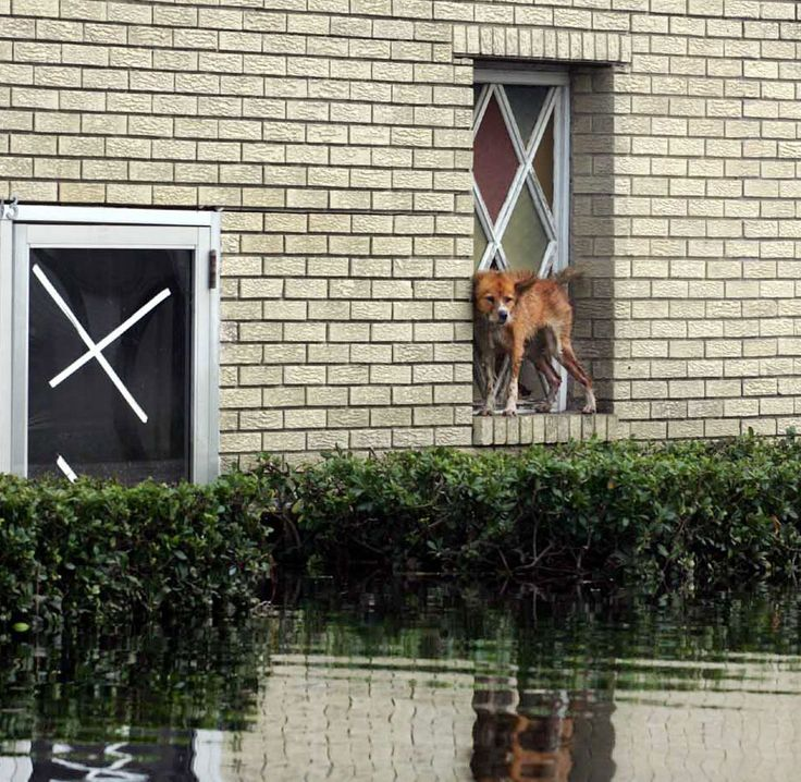 A weak and hungry dog takes a break from swimming on a church windowsill. Trapped blocks away from dry ground, the dog had no way out of the flooded area without being rescued. More than 250,000 pets were lost during the storm. (Photo: Ronna Gradus/KRT/Newscom)