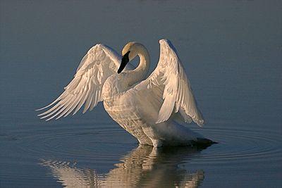 Belleza y Gracia, El Cisne de Trumpeter