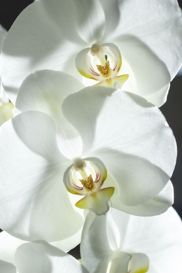 Phalaenopsis Orchids - Year Round