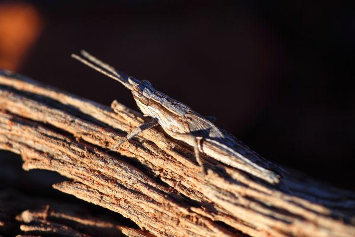 Camouflaged grasshopper near Leonora Western Australia
