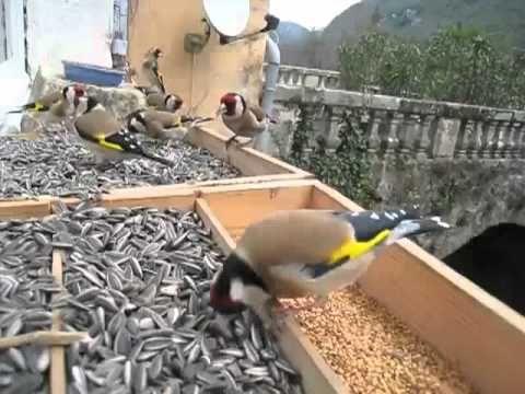 Comida para JILGUEROS