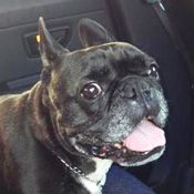 French Bulldog Rescue Network :: Kielbasa in FL