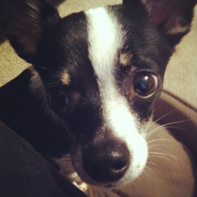 chihuahua rat terrier mix looks just like our lucy did