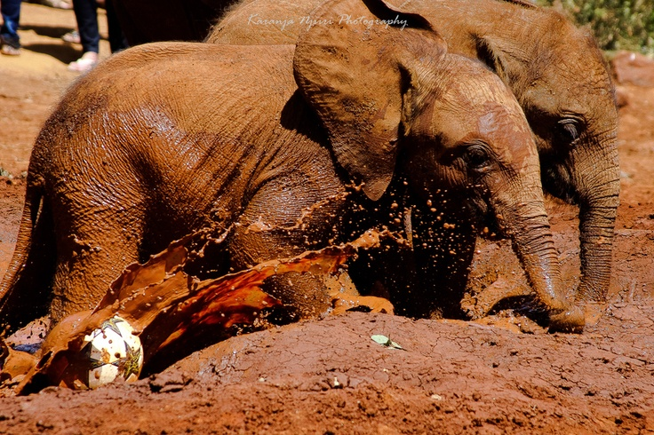 Young Elephants catching up at the David Sheldrick Wildlife Trust, Nairobi, Kenya