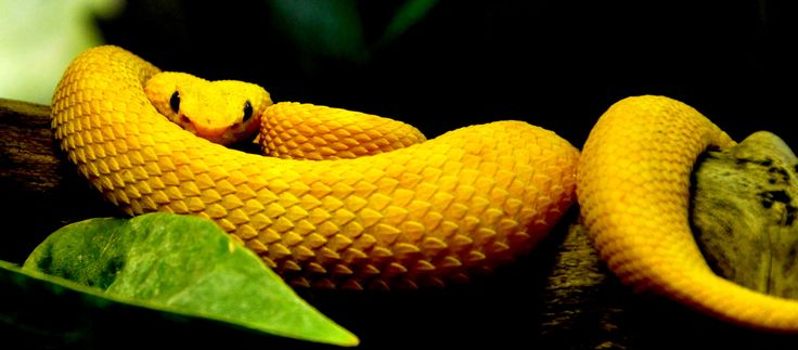 129 Best Images About Snakes On Pinterest Pit Viper