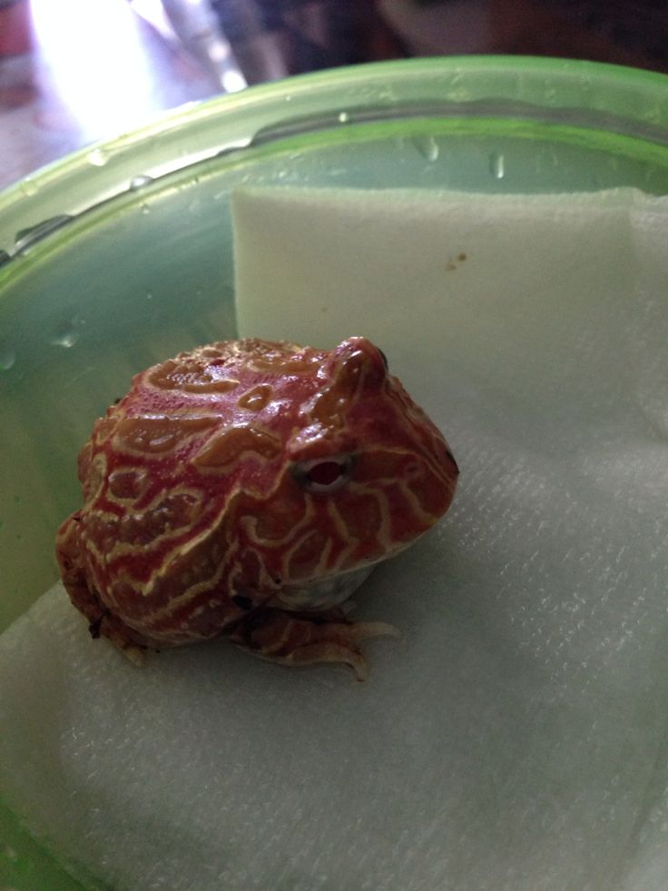 Strawberry Pineapple Pacman Frog