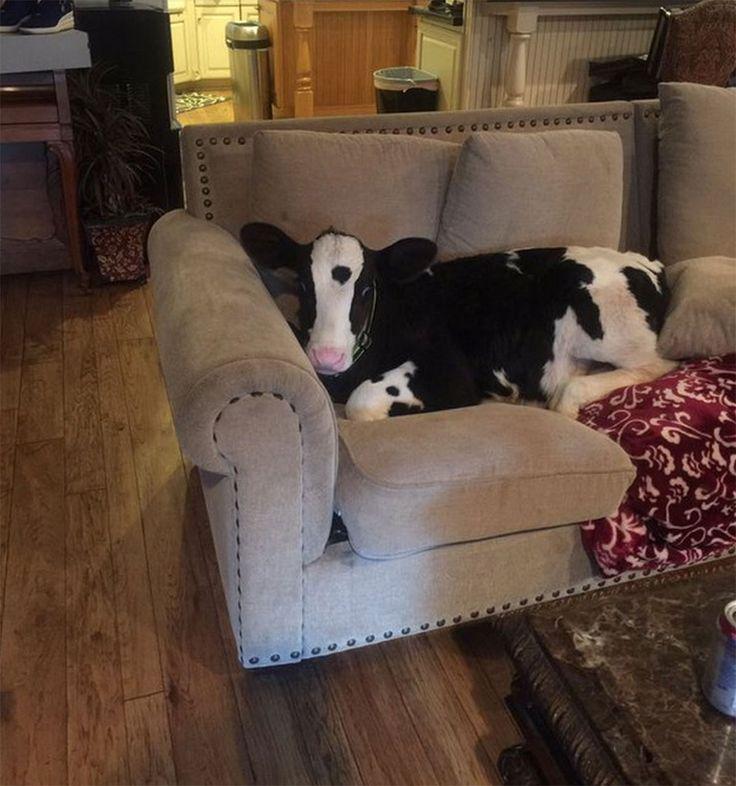 Sauvé d'une mort certaine par une lycéenne, Goliath est un veau particulier. L'animal se comporte en effet comme l'un des chiens de la famille qui l'a recueilli. Il mange dans une gamelle, dort dans son panier, et se gratte même derrière les orei...