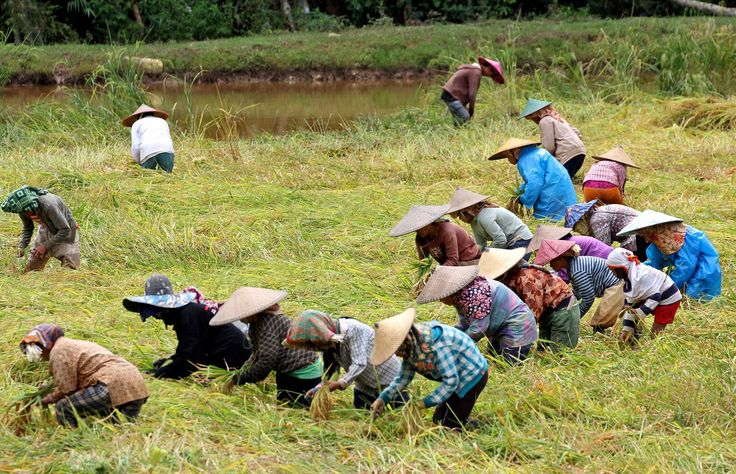 Rantepao, Sulawesi - Indonesia, | Ricefields works