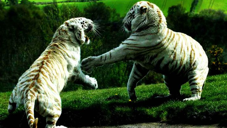 baby white tiger fight - http://1080wallpaper.net/baby-white-tiger-fight.html