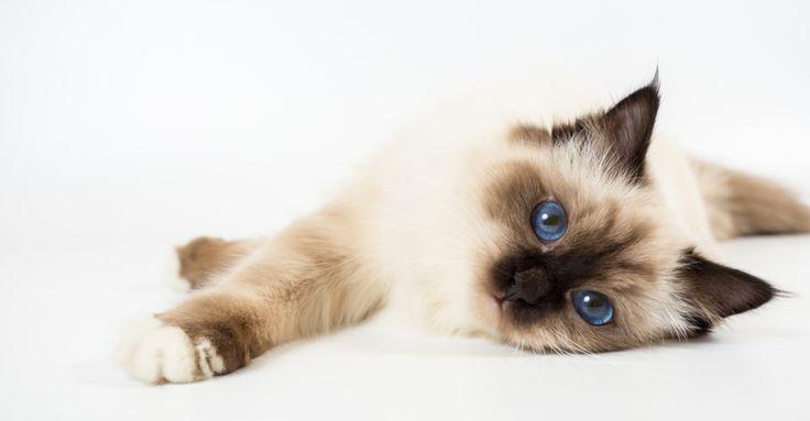 Was sind die süßesten Katzenrassen? | Petfinder   – What Are the Cutest Cat Breeds?
