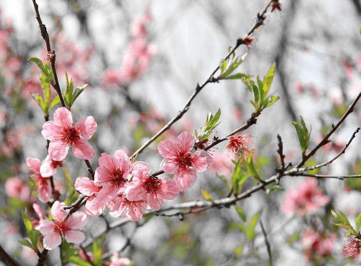 Google+цветение персика