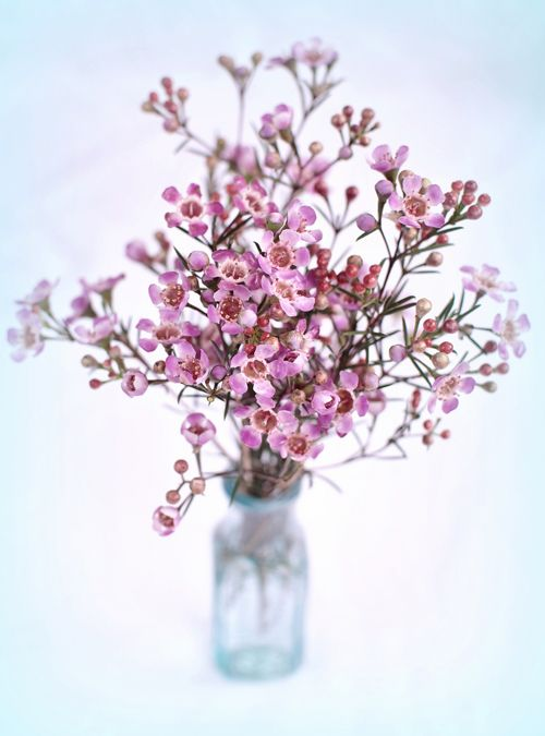 Pale pink waxflower (in my bouquet)