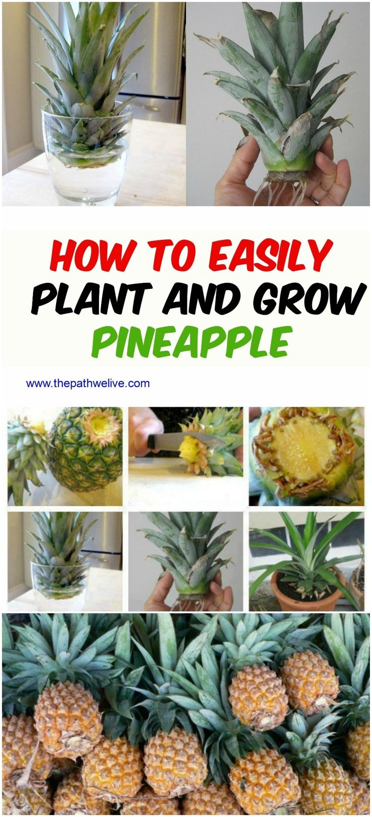 Best 25 grow pineapple top ideas on pinterest where do for How to plant a pineapple top in a pot