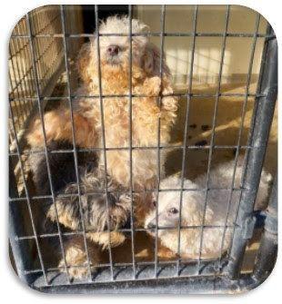 11/6/16 -2 BICHONS, 1 SCHNAUZER at lizardmarsh: Carthage IL: Beyond urgent Hancock County Animal Control Dogs NEED HELP!