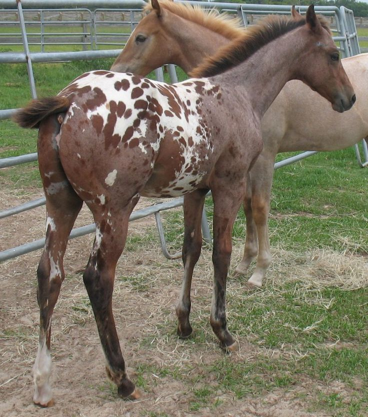 17 Best images about Appaloosas on Pinterest   The horse ...