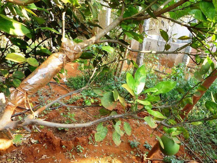 Βήμα-προς-βήμα οδηγίες για το πώς να κάνεις ένα νέο δέντρο από μια παλιά λεμόνια..air-layering!!!