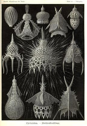 ernst haeckle's botanical illustrations