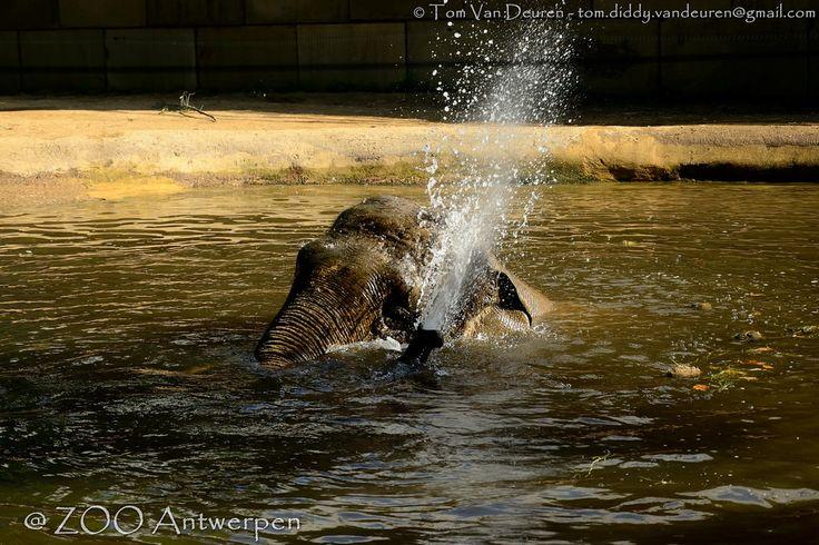 Aziatische olifant - Elephas maximus - Asian Elephant   by MrTDiddy