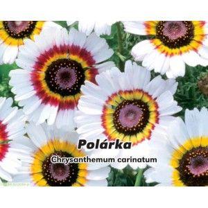 Złocień trójbarwny (Chrysanthemum carinatum) Polaris - nasiona 0,4g