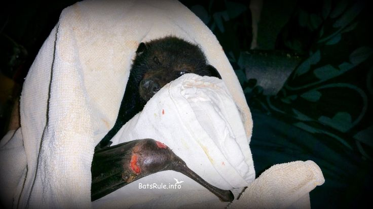 Rescue - Megabat black male Flying fox, Fruit bat