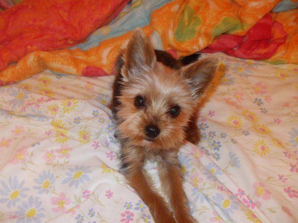 Oliver <3 Yorkshire Terrier