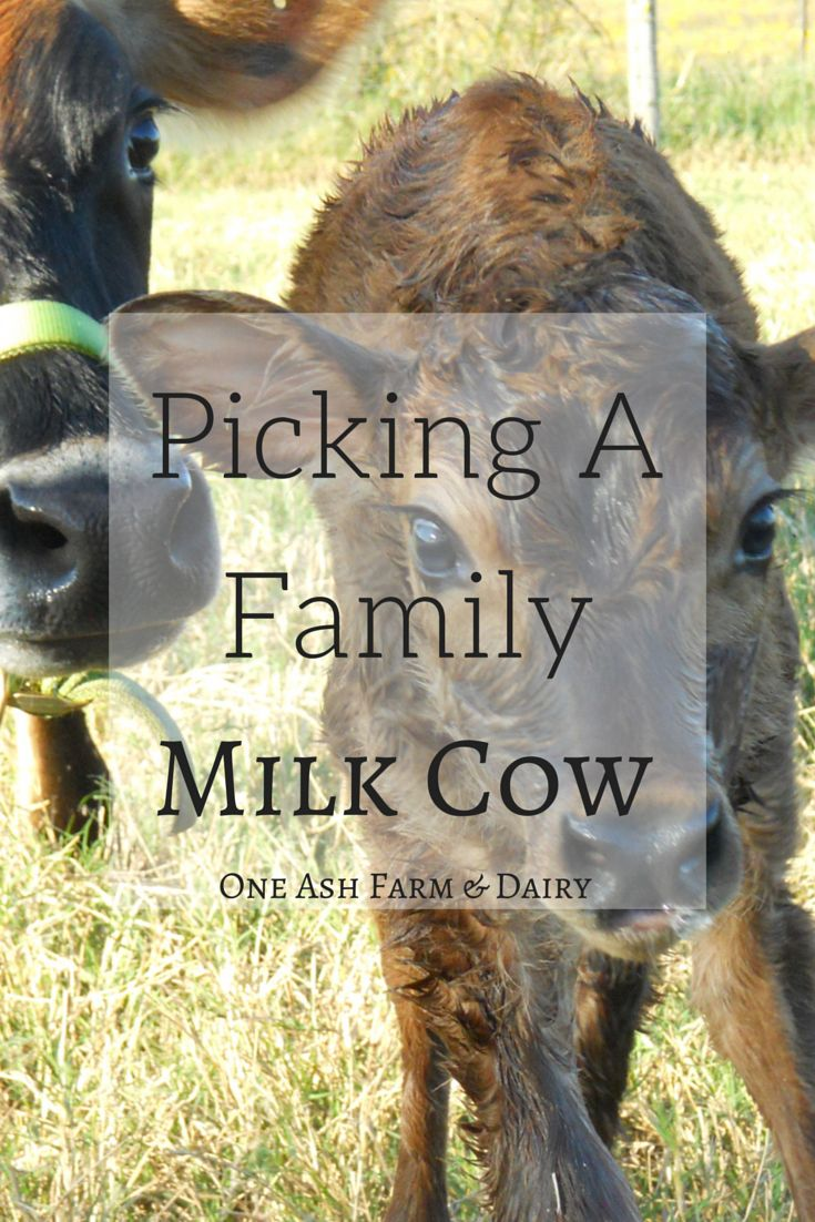Picking A Family Milk Cow -One Ash Farm and Dairy ...