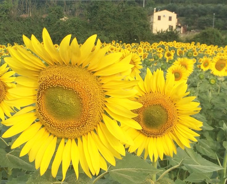 Sunflowers surround the town during the months of July and August