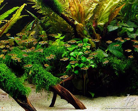17 best images about aquascape on pinterest singapore for Plante aquarium