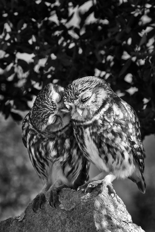 Owls giving kisses on the cheek. There are butterfly kisses.. and eskimo kisses.. are there OWL kisses. I think this may be it;)