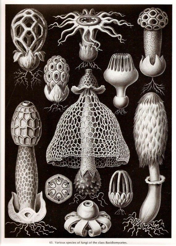 Ernst Haeckel 1974 CORALS GUNFI Algae Art by NaturalistCollection, $5.00