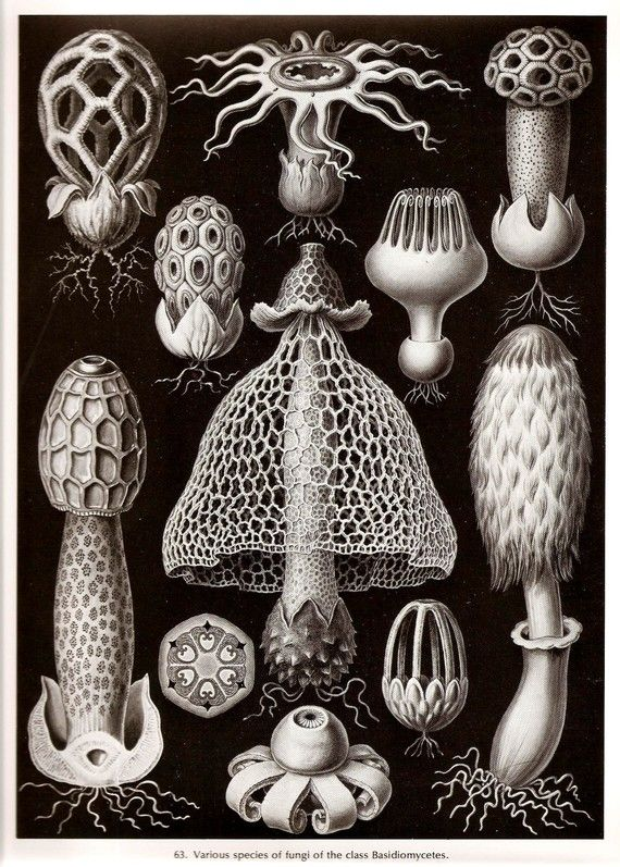 Ernst Haeckel 1974 Korallen REVOLVERHELDEN Algen Art Marine Drucken Vintage Original Buch Platte 63 und 64 Siphonales und Basidiomycetes