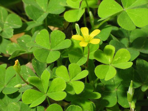 """Shamrock Flower by jciv, via Flickr.  The Shamrock """"A symbol of St. Patrick and his evangelization of Ireland, and of Ireland itself, but St. Patrick used it as a symbol of the Trinity, with each leaf representing a Divine Person while the plant remains one plant."""
