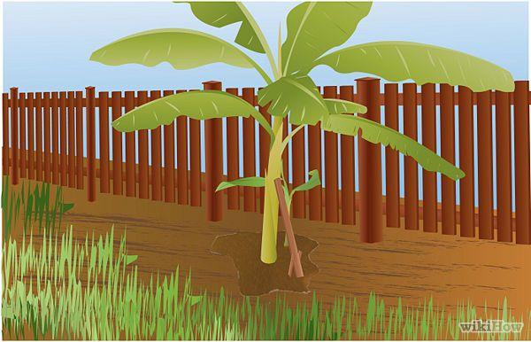 Grow Banana Plants Step 10.jpg