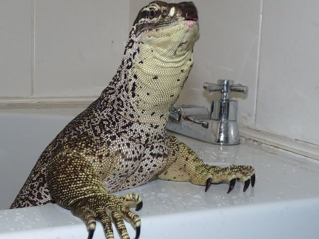 Tegu and Monitor pics, whether LARGE or small - Page 7 - Reptile Forums