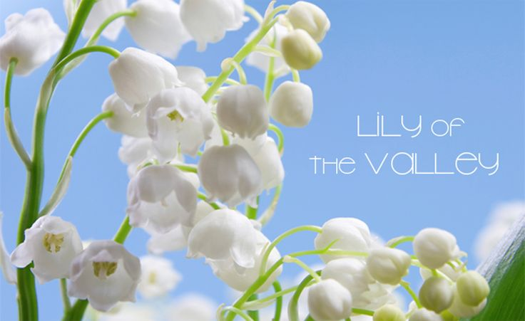 Lily of the Valley car bl