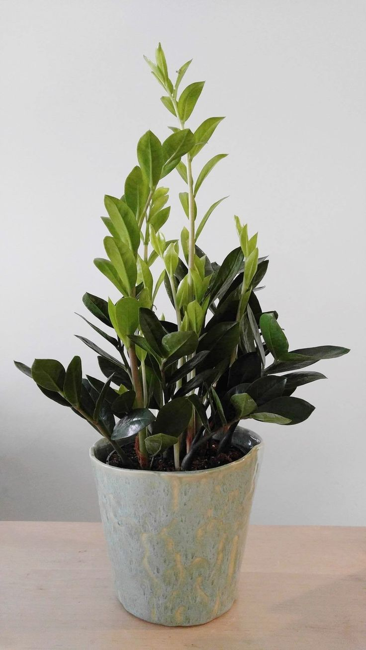 Best 25 low light houseplants ideas on pinterest indoor house plants low light plants and - Best house plants low light ...