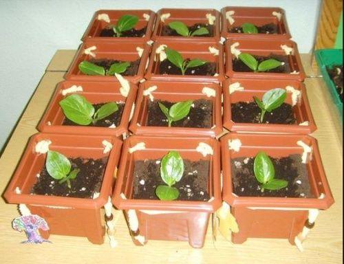 Marre de planter des haricots? Plantez des baobabs!