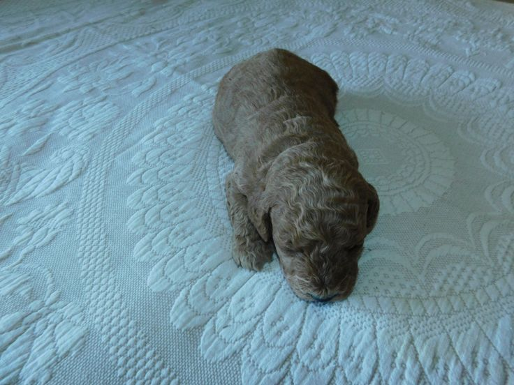 Ash Miniature Goldendoodle puppy for sale in Michigan. A