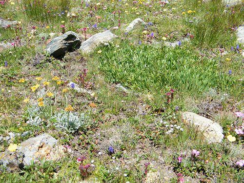 13 Laghi Val Germanasca (Torino) - Giardino naturale di erbe e fiori di montagna