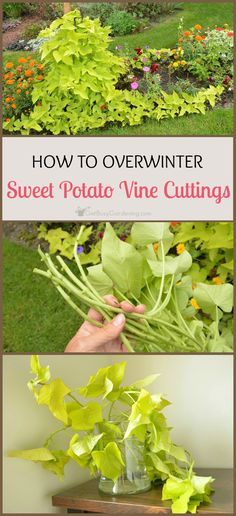 Step by step instructions for successfully overwintering sweet potato vines. Save money by overwintering your sweet potato vine cuttings indoors.