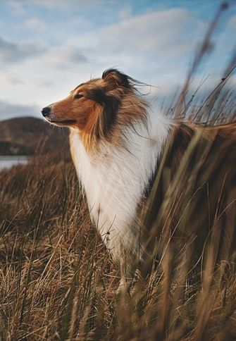 Collie in the wind