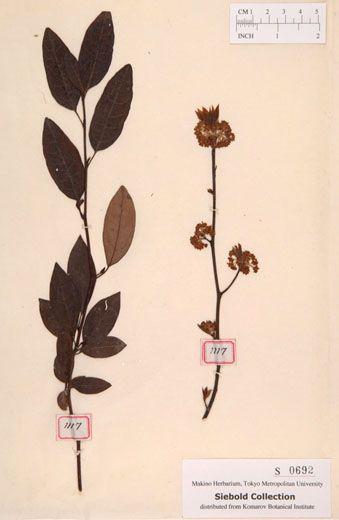 クロモジ Lindera umbellata Thunb. -Siebold Collection NO.692 - Makino Herbarium